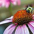 Purple Cone Flower And Bee by Al  Mueller
