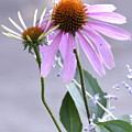 Purple Cornflowers by Penny Neimiller