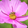 Purple Cosmos And The Honey Bee 2017 by Thomas Young