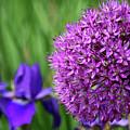 Purple Cotton Ball by Karin Tessin