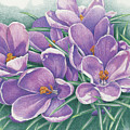 Purple Crocus by Amy S Turner
