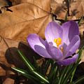 Purple Crocus In Dried Leaves by Anna Lisa Yoder
