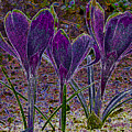 Purple Crocuses  by Sharon Talson