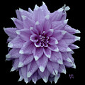 Purple Dahlia Cutout by Shirley Heyn