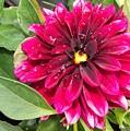 Purple Dahlia by Pamela Pursel
