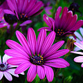 Purple Daisies by Rosemary Smith