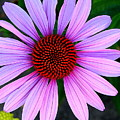Purple Daisy by Kathy Roncarati