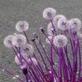 Purple Dandelions by Smilin Eyes  Treasures