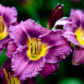 Purple Day Lillies by Marilyn Hunt