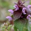 Purple Deadnettle Bloom by Mandy Elliott