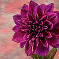 Purple Dhalia by Garry Gay