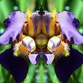 Purple Dream Two  by Lyle Crump