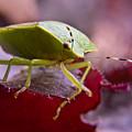 Purple Eyed Green Stink Bug by Douglas Barnett