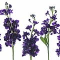 Purple Floral 1 by Kelly Merlini