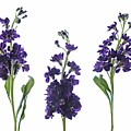 Purple Floral 2 by Kelly Merlini
