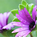 Purple Flower Closeup by Ersoy Basciftci