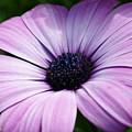 Purple Flower Macro by Edward Myers