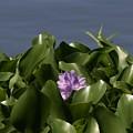 Purple Flower On Bayou by Kathy Kirkland