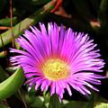 Purple Flower On California Coast by Mariola Bitner
