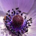 Purple Flower Universe by Pierre Leclerc Photography