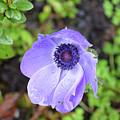 Purple Flowering Anemone Flower In A Lush Green Garden by DejaVu Designs