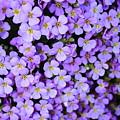 Purple Flowers - Rockcress by Carol Groenen