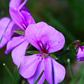 Purple Flowers by Anthony Jones