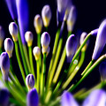 Purple Flowers by Craig Incardone