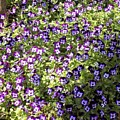 Purple Flowers by Pama Lyons