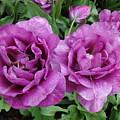 Purple Flowers by Rachel Figueroa