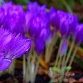 Purple Flowers by Scott Hill