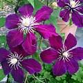 Purple Flowers by Steven Wills
