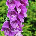 Purple Foxglove by Alicia Espinosa
