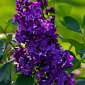 Purple French Lilac by Catherine Sherman