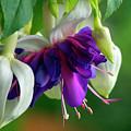 Deep Purple Fuchsia by Sharon Talson