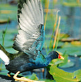 Purple Gallinule by Cindy Gregg