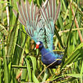 Purple Gallinule In Flight by Lindy Pollard