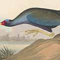 Purple Gallinule by John James Audubon