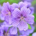 Purple Geranium by Neil Overy