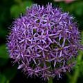 Purple Globe Thistle by Kristina Jones