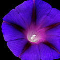 Purple Glory by Maria Ollman