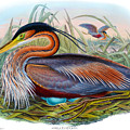 Purple Heron Antique Bird Print John Gould The Birds Of Great Britain by Orchard Arts