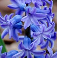 Purple Hyacinth by David Lane