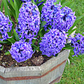 Purple Hyacinth Flowers Planter by Perl Photography