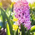Purple Hyacinth by Tat Fung
