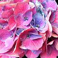 Purple  Hydrangea by Carl Deaville