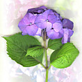 Purple Hydrangea by Sandi F Hutchins
