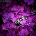 Purple Hydrangeas by Doug Sturgess