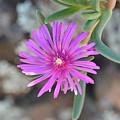 Purple Ice Flower Close Up by Brigitta Diaz
