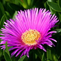 Purple Ice Plant by Kerry Reed
